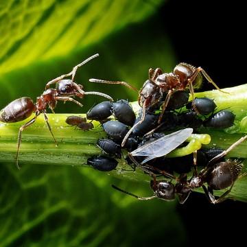 Las antenas de las hormigas son un dispositivo de comunicación de dos vias